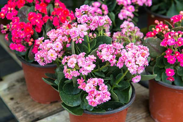 Kalanchoe - Seasonal