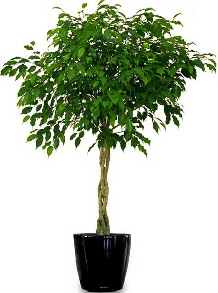 Ficus - Available 3' - 8'