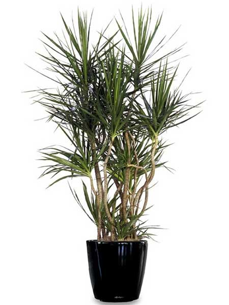 Marginata - Available 3' - 8'