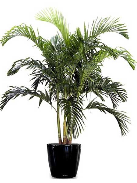 Paradise Palm - Available 3' - 8'