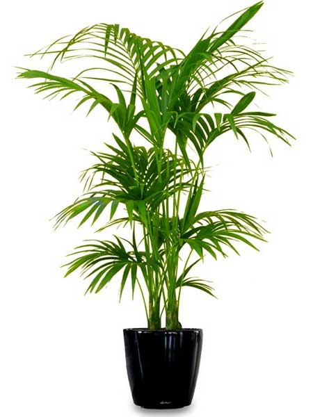 Kentia Palm - Available 5' - 6'