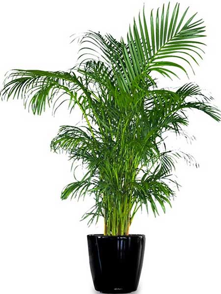 Areca Palm - Available 3 ft. to 8 ft.