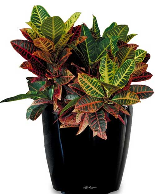 Croton - Available 3' - 4'