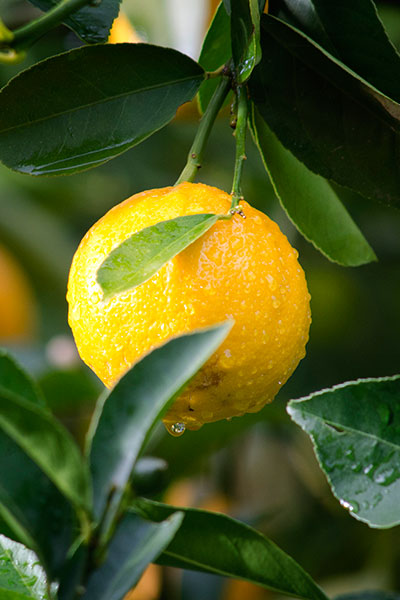 Tall trees with live lemons for Mike's Hard Lemonade