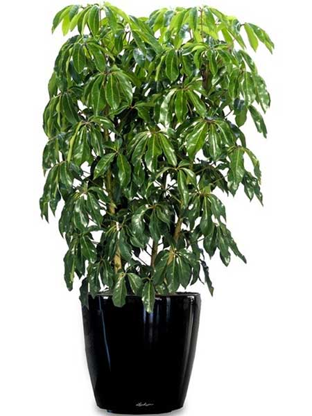 Schefflera in 3 foot and 4 foot heights