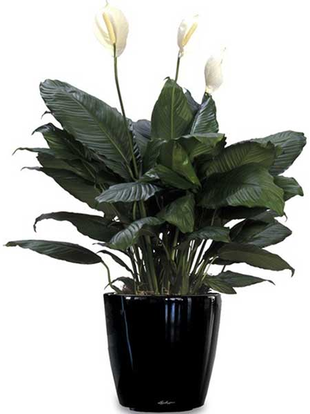 Spathiphyllum - Available 3' - 4'